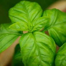 Get To Know Basil And The Great Benefits It Embrace